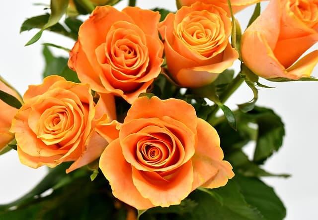 hoa hong cam y nghia