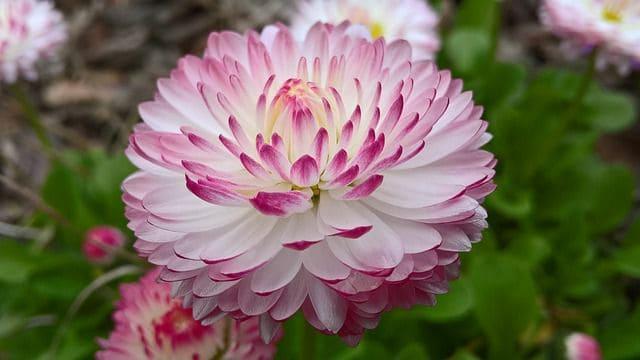 hinh hoa cuc dep