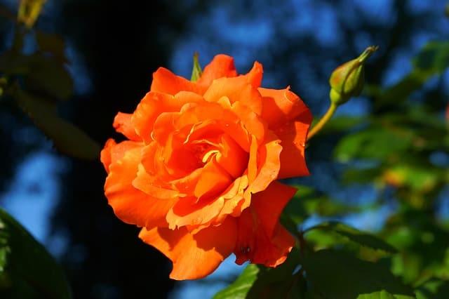 Hoa hong cam y nghia nhat