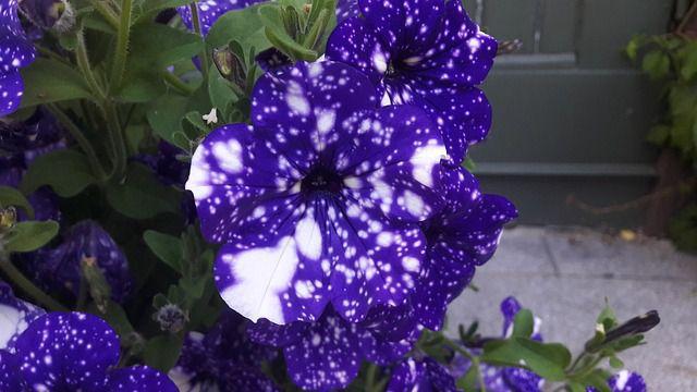 hoa dạ yến thảo đẹp nhất