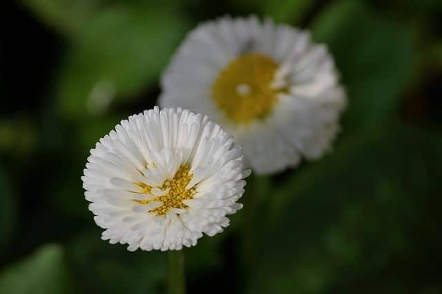 hoa cúc đẹp nhất và ý nghĩa