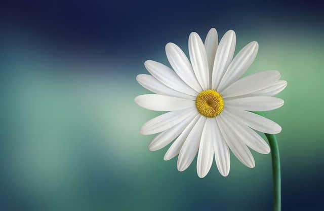 hình ảnh bông hoa cúc đẹp