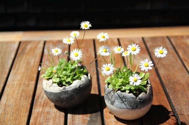 chau hoa cuc dep