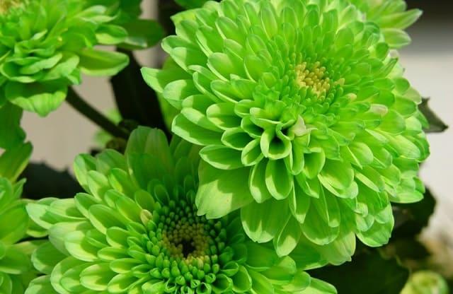 Hoa cuc xanh