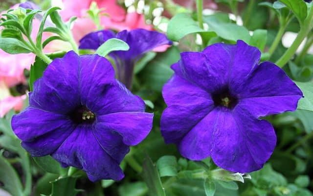 hoa da yen thao xanh