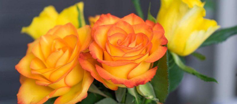 hoa hong cam