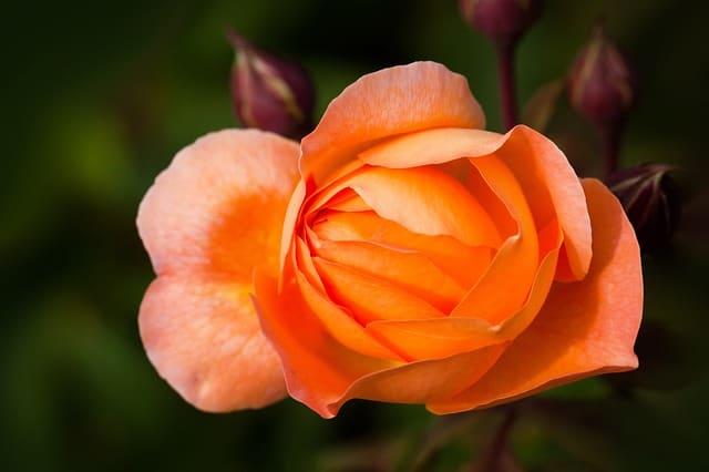 bong hoa hong cam dep