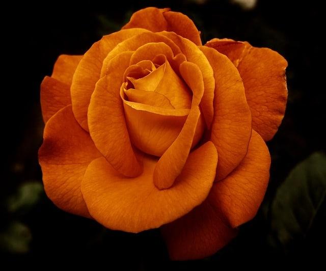 hoa hong cam y nghia dep