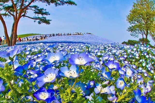hoa thuy tien xanh