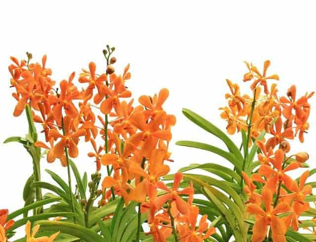 lan mokara no hoa dep