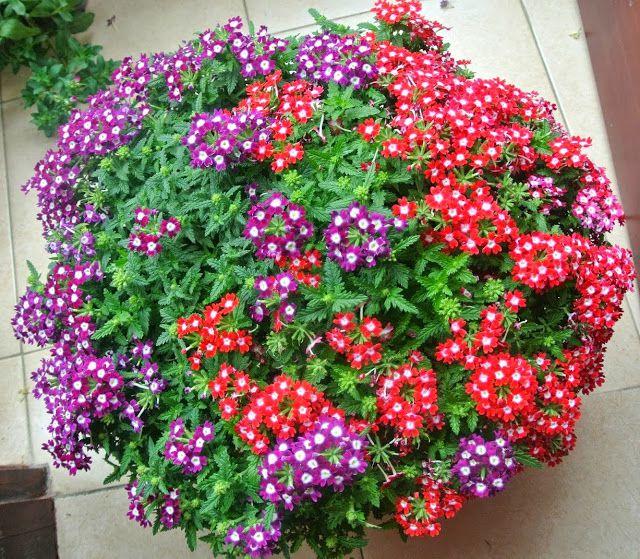 hoa cuc nu hoang