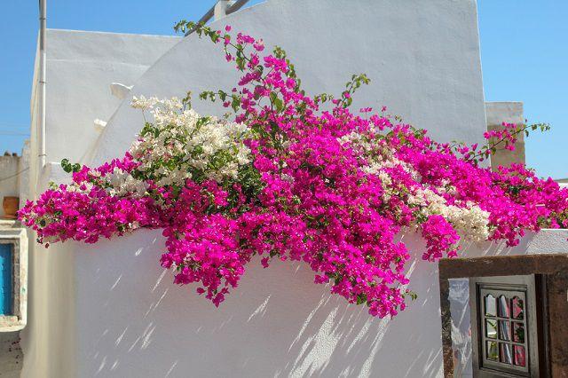 hoa giay ban cong