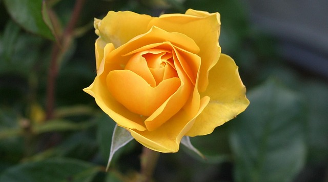 Hoa tinh ban hoa vang