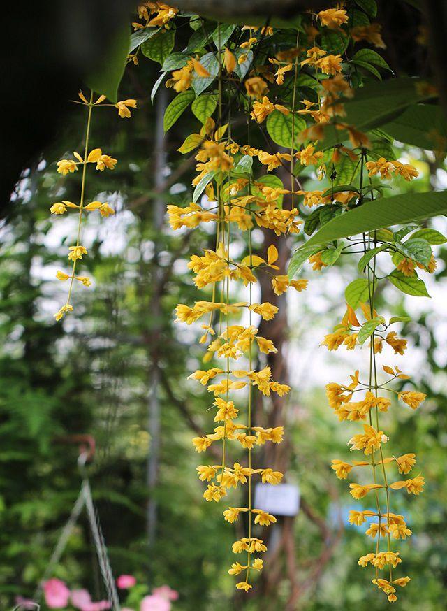 hoa lan hoàng dương