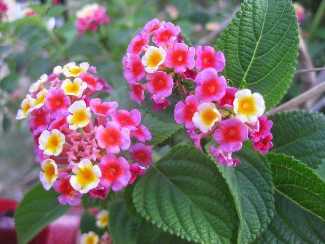 hoa ngu sac