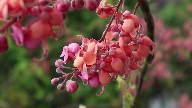 hoa ô môi đẹp
