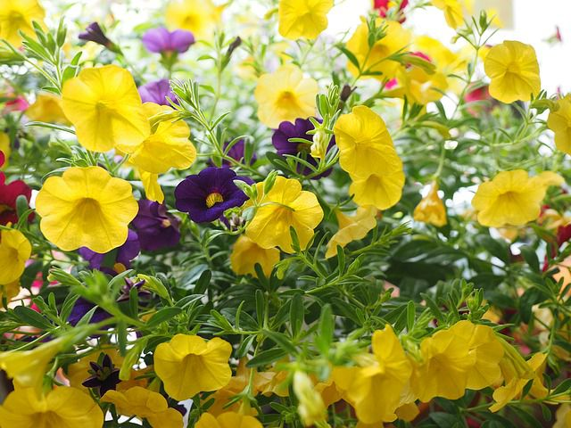 hoa trieu chuong