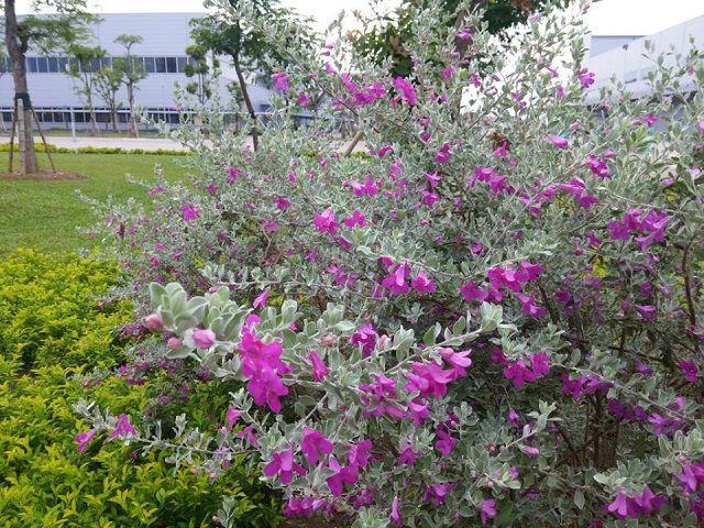 hoa tuyet son phi hong