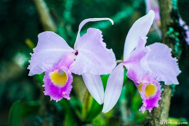 hoa đẹp phong lan
