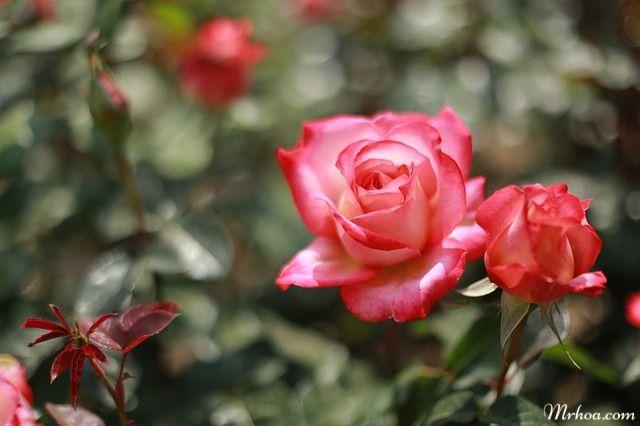 hinh hoa dep nhat hoa hong
