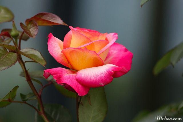 anh hoa dep hoa hong