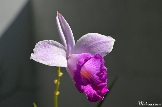 hoa dep phong lan