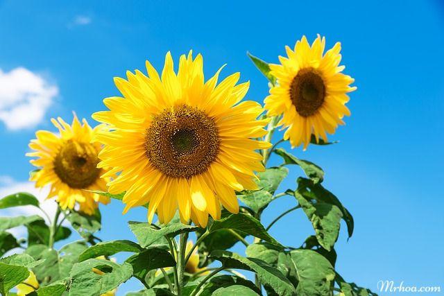 hoa đẹp hoa hướng dương