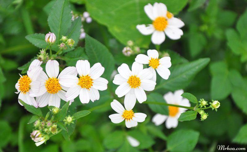 hoa xuyến chi màu trắng