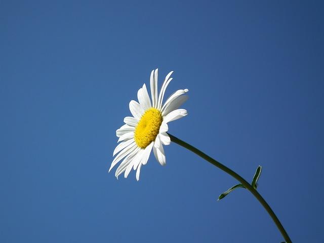 hoa cuc tinh ban