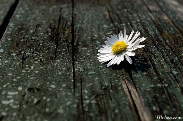 hoa cuc trang