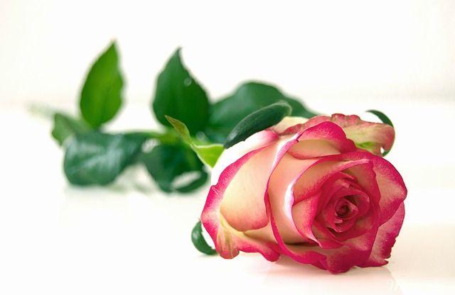 y nghia hoa hong song hy