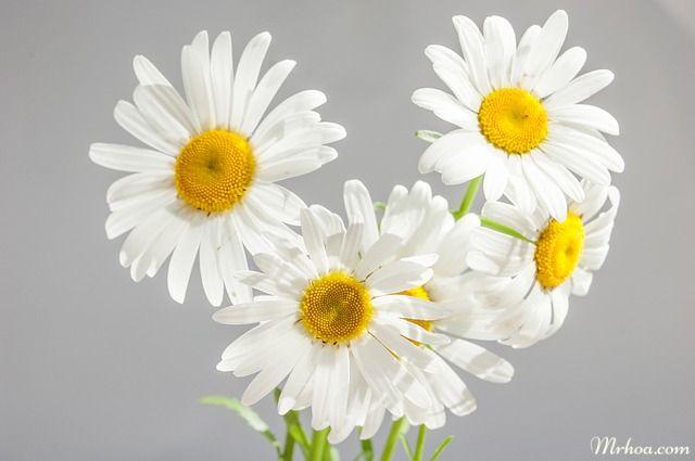 Hoa cuc cho cung xu nu